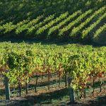 adelaide hills vineyard